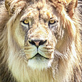 Lions Mane by David Millenheft