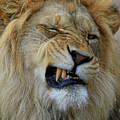 Lions Wink by Steve McKinzie