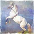 Lipizzaner Stallion Square by Eleanor Abramson