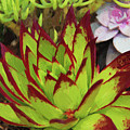 Lipstick Or Echeveria Agavoides At Balboa Park by Kenneth Roberts