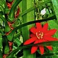 Lipstick Plant Flower by Janice Heinzelman