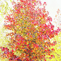 Liquidambar Impression by Elaine Teague