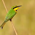 Little Bee-eater by Aivar Mikko
