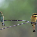Little Bee-eaters by Bruce J Robinson