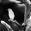 Little Bird by Angel Ciesniarska