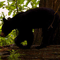 Little Black Bear by David Lee Thompson