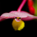Little Blossom With Drop by Wolfgang Stocker