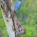 Little Blue And Green Heron by Brittaney Gresham