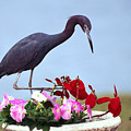 Little Blue Heron In Flower Pot by Sally Weigand