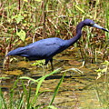 Little Blue Heron by Irina Hays