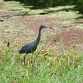 Little Blue Heron by Kathy Schumann