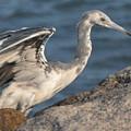 Little Blue Heron On The Rocks by Dan Williams