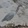 Little Blue Heron Walking by Christiane Schulze Art And Photography
