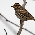 Little Bunting by Eric Nelson