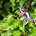Little Downy Woodpecker  by Ricky L Jones