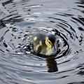 Little Duckling Goes For A Swim by Rose De Dan