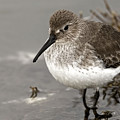 Little Dunlin At Waters Edge by Sue Harper