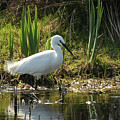Little Egret by Celine Pollard