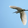 Little Egret by Claire Wilson