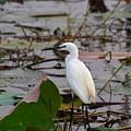 Little Egret 2 by David Hohmann