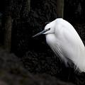 Little Egret by Tony Mills