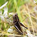 Little Grasshopper 2 by Marilyn Hunt