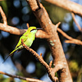 Little Green Bee Eater On A Branch by Vishwanath Bhat