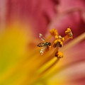 Little Hoverfly by Barbara Treaster