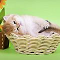 Little Kitten by Angela Savenko