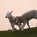 Little Lambs by Angel Ciesniarska