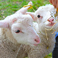 Little Lambs Eat Straw Not Ivy by Nina Silver