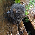 Little 'mighty Mouse' by Karen Moren