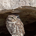 Little Owl by Bob Kemp