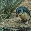Little Penguin by David Pine