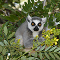 Little Ring-tailed Lemur by Michele Burgess