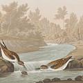 Little Sandpiper by John James Audubon