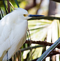 Little Snowy Egret by Kenneth Albin