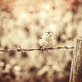 Little Sparrow by Amanda Elwell