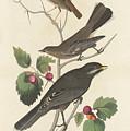 Little Tawny Thrush by John James Audubon