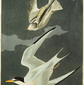 Little Tern by John James Audubon