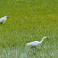 Little White Egret by Paulo Goncalves