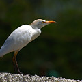 Little White Heron by Galeria Trompiz