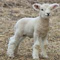 Little White Lamb by Sue Feldberg