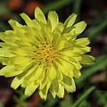 Little Wild Yellow by Deborah Benoit