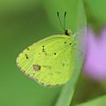 Little Yellow Butterfly Close-up by Karen Adams