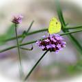 Little Yellow Butterfly On Verbena by Karen Adams