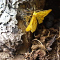 Little Yellow Moth by Peggy King