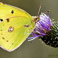 Little Yellow On Bullthistle by Don Durfee