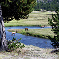 Live Dream Own Yellowstone Park Elk Herd Text by Thomas Woolworth