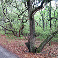 Live Oak Forest by Liza Eckardt